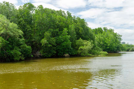Avicennia alba at mangrove forest  in Thailand Stock Photo