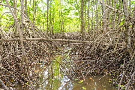 Avicennia alba at mangrove forest in Thailand