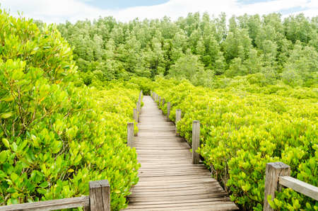 Avicennia alba with wooden walkway at mangrove forest  in Thailand