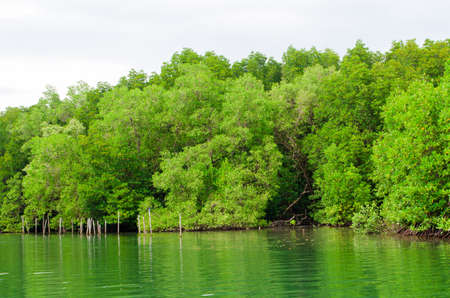 green nature landscape of mangrove forest
