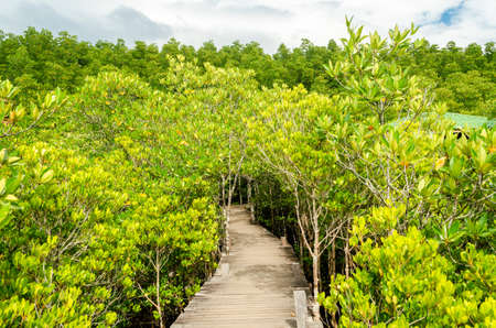 beautiful golden mangrove or ceriops decandra forest in Thailand