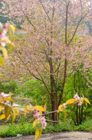 Pink flower blooming of Prunus cerasoides or Wild Himalayan Cherry in the forest