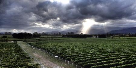 sauvignon blanc: Stormy day in Sauvignon Blanc Vineyards Marlborough New Zealand