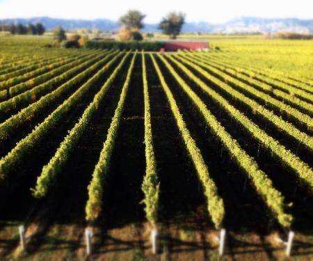 sauvignon blanc: Sauvignon Blanc vineyard in Marlborough New Zealand Stock Photo