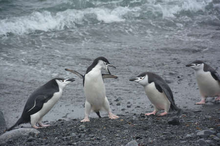 Penguins nesting, fighting, sleeping and posing for photos, Antarctica, December 2019