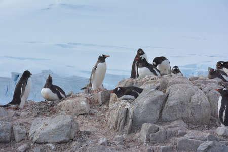 Penguins nesting, swimming and resting, Antarctica, December 2019