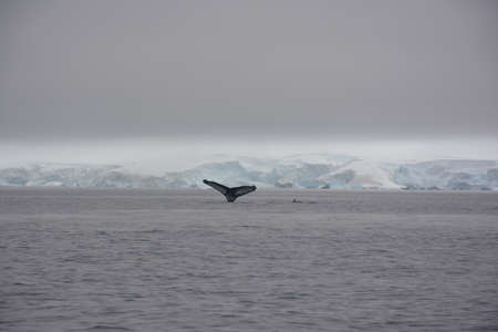Humpback whales fluking and breaching, Antarctica, December 2019 스톡 콘텐츠