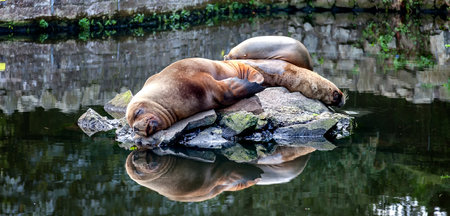 3 seals asleep on a small island in the middle of the seal enclosure at Edinburgh zoo, scotland Stock Photo