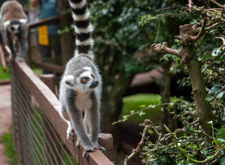 a young ringtailed lemur walks along the top of a wooden fence