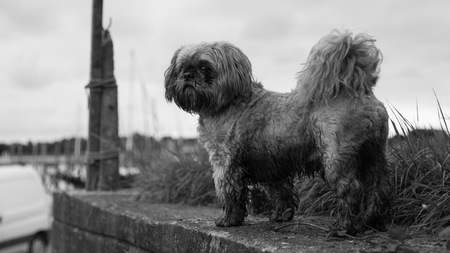 a mud covered shih tzu stands atop a wall