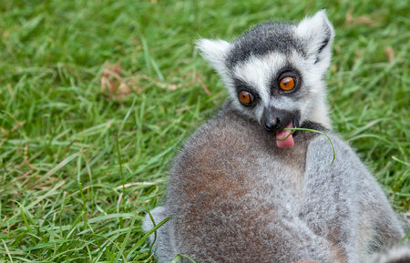 a young looking ringtailed lemur with a blade of grass in its mouth Imagens