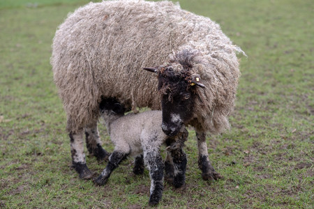 A lamb feeds from mother Imagens