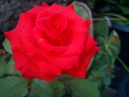 merah: Red Rose Flower Stock Photo