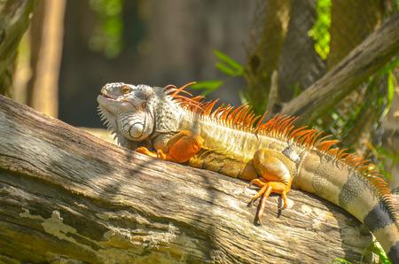 Orange Iguana on the timber, Khao Kheow Open Zoo, Thailand Stock Photo