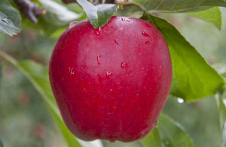 Red Apple on tree with water droplets after a rain.