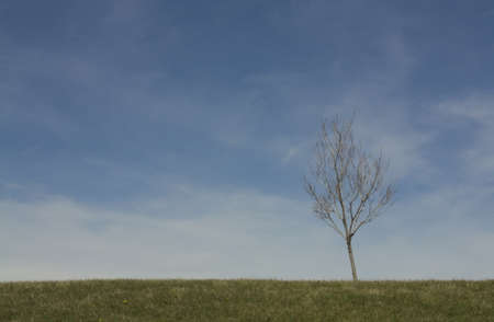 A bare lone tree in spring against a blue sky. Stock Photo