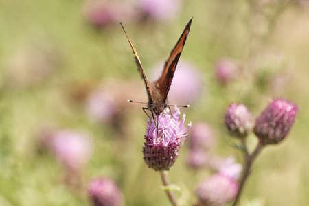 Tortoiseshell butterfly sitting on a Prairie Thistle