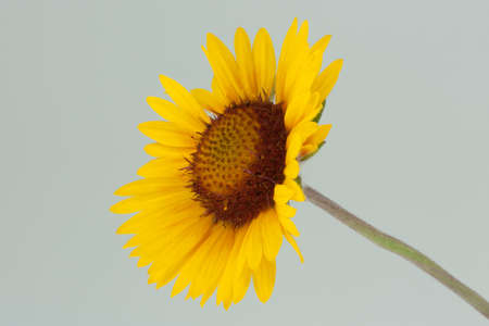 Macro of a Yellow Aster