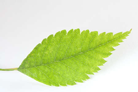 Mountain Ash Leaf on White Stock Photo