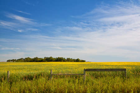 Fence in a field of canola with a grove of trees in the distance. Stock Photo