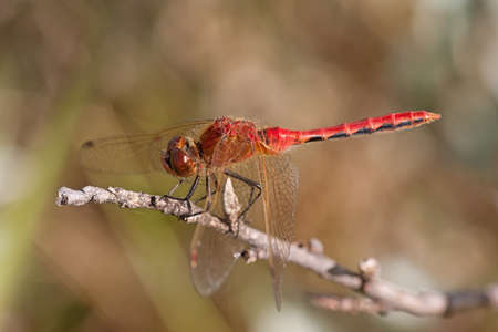 Red-veined darter resting on a twig.