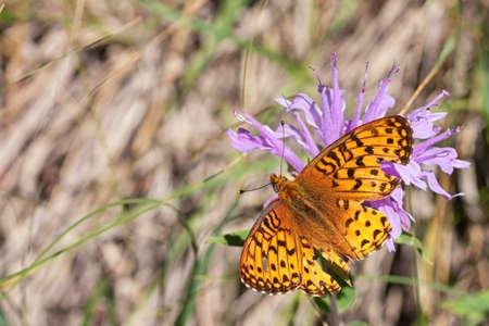 Hurt, Arctic Fritillary butterfly resting on wild bergamot.