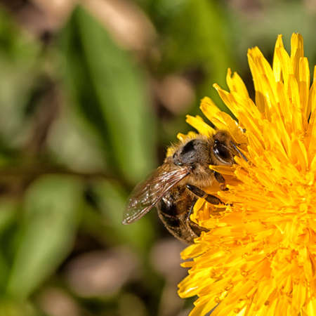 Bee collection pollen from a dandelion Stock Photo