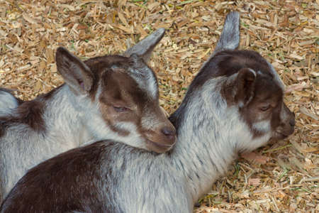 Portrait of twin baby goats cuddled in straw. Stock Photo