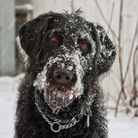 Portrait of a black labradoodle dog playing in the snow. Stock Photo