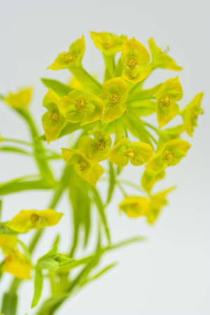 Macro of the invasive week leafy spurge on white with focus on top center flowers
