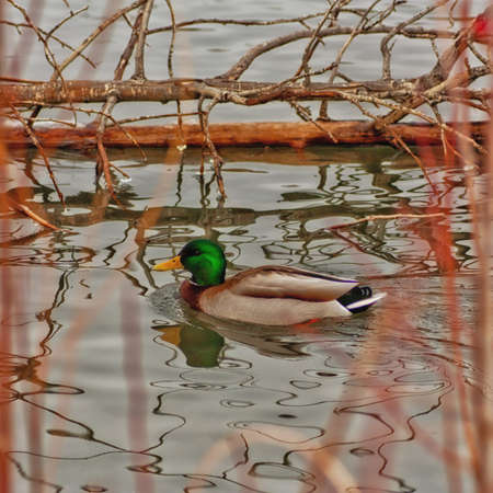 Male mallard duck on pond framed by foilage