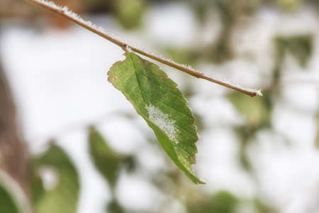 Green elm leaf with winter snow and frost.
