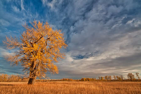 Lone yellow autumn tree in a grassy field.   Stock Photo - 16050057