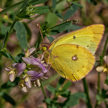 Clouded Sulphur resting on a wild flower