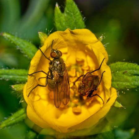 Macro of flies on a yellow flower  Stock Photo