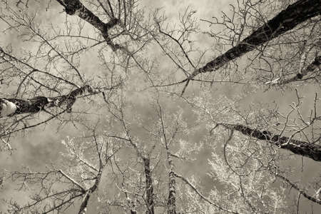 Looking up at a grove of white birch trees in the winter  photo