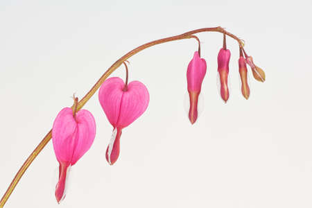Macro of a stalk of bleeding heart flowers on a white background