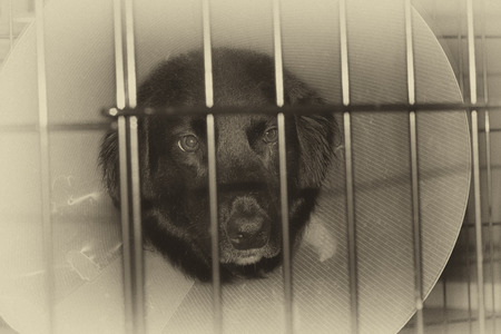 convalesce: Monochrome image of a sad injured dog with protective cone in a cage. Stock Photo