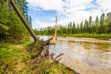 the aftermath: Uprooted tree beside Fish Creek after the June 2013 Calgary flood.