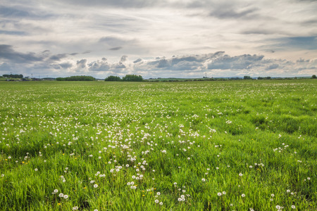 canada agriculture: Landscape of a field of seeded dandelions in a storm.