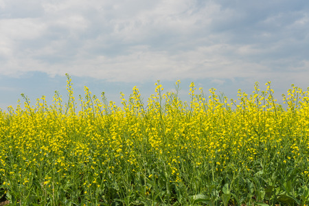 blue cloudy sky: Landscape of golden canola under a smokey blue cloudy sky. Stock Photo