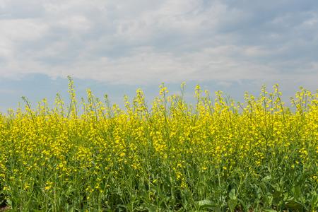 eudicots: Landscape of golden canola under a smokey blue cloudy sky. Stock Photo