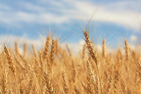 Macro of a piece of wheat amongst many. Stock Photo