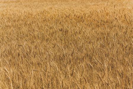 Landscape of a large golden wheat field.