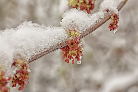 vegatation: Snow on a flowering branch in Spring.
