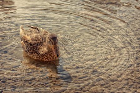 female mallard duck: A female mallard duck floating on a rippling pond.