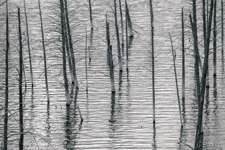 arboles secos: Monocromo paisaje de árboles muertos en el histórico terremoto de Lake, Montana, Estados Unidos.
