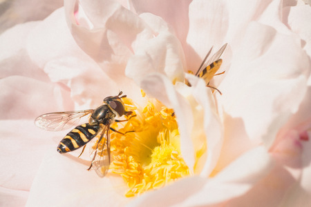 Macro of two hoverflies on a pink rose.