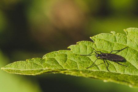 gnat: Macro of a black march fly sitting on a green leaf - side view. Stock Photo