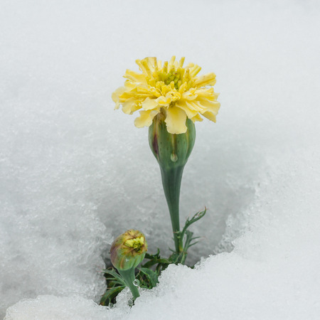 asterids: Season confusion:  Macro of a yellow chrysanthemum surrounded by white snow. Stock Photo